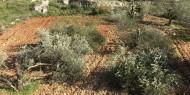 سلفيت: الاحتلال يقتلع عشرات أشجار الزيتون المعمرة