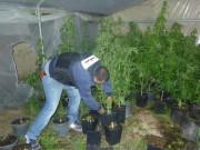 ضبط مشتل لزراعة الماريجوانا في نابلس