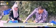 موسم قطف الزيتون في قطاع غزة