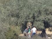 مستوطنون يهاجمون أراضي بسلفيت ويقتلعون 200 شجرة زيتون