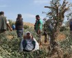 مستوطنون يسرقون ثمار الزيتون من بلدة كفر قليل جنوب نابلس