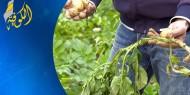 محاصيل غزة في خطر.. وخسائر فادحة يتكبدها المزارعون بسبب مبيدات الاحتلال