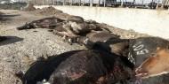 بالصور|| مسلحون يقتلون 50 رأس ماشية بالرصاص جنوبي الخليل