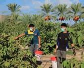 بانوراما كورونا| أبرز المشاكل التي تواجه المزارع الغزاوي في ظل جائحة كورونا