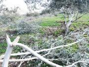مستوطنون يقتلعون عشرات أشجار الزيتون شمال غرب نابلس