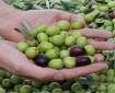 انخفاض إنتاج الزيتون ينعكس على المعاصر في غزة